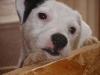 Parson Russell Terrier - Bis zum Jahr 1999 wurden diese Terrier als Jack Russell Terrier bzw. Parson Jack Russell Terrier bezeichnet, wobei unter diesen Begriffen auch die niederläufigen Terrier dieses Typs geführt wurden