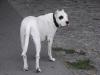 Dogo Argentino Rüde