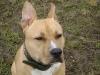 Pitbull Terrier Männchen/Deissen