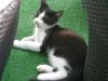 Katzenbetreuung Wien - Katzenbaby / Vor der Geburt leckt die Katze sich den Bauch und hinterlässt dabei eine Speichelspur, der die Katzenwelpen leitet.