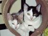 Katzen - Mittlerweile gibt es Hinweise, dass eine Katzenhaltung bereits im Jahre 7000 v. Chr. in Jericho gelegentlich stattgefunden hat.