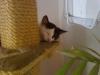 Hauskatze Leila am Katzenbaum
