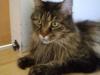 Maine Coon Katze - Maine Coon sind entspannt und von einer angenehmen Leichtigkeit. Sie sind lebhaft und bleiben ihr Leben lang verspielt. Bietet man ihnen nicht genügend Spielmöglichkeiten, so finden sie selber welche.