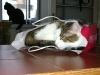 Katzen Verhalten - Verhalten kann unter den Rassen und einzelne Katzen variieren.