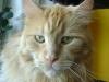 Maine Coon Katze Rot - Weibchen mögen manchmal mürrisch erscheinen, aber dies ist ein Bluff. Sie brummen zwar anfangs vor sich hin, wenn dies jedoch nicht zum Erfolg führt, dann puffen und schmusen sie sehr gerne.