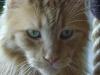 Maine Coon Katze Rot - Sie sind einfache und liebenswerte Katzen, man kommt mit ihnen sehr leicht gut aus, sobald sie ihre Mitmenschen besser kennen.