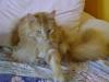 Maine Coon Katze Rot - Sie sind lebhaft und bleiben ihr Leben lang verspielt.