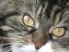 Maine Coon Katze - Maine Coon sind auch hervorragende Springer. Sätze von 2 bis 3 Meter stellen kein Problem für sie dar.