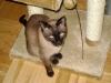 Siamkatzen - Ihre Aufmerksamkeit und Neugierde sind sehr ausgeprägt.
