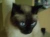 Siamkatzen - Siamesen sind bekannt für ihre Intelligenz und Lernfähigkeit, aber auch für ihre kräftige Stimme, mit der sie gerne plaudern.
