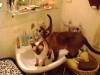 Siamkatzen - Ihre rassetypische Maskenzeichnung wird nur an den kühleren Körperregionen gebildet und beginnt sich erst einige Wochen nach der Geburt zu entwickeln.
