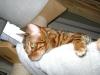 Bengalkatze - Die heutige Bengal wird ausschließlich reinerbig gezüchtet, das heißt die Tiere dürfen nur untereinander verpaart werden.