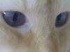 Katzenbetreuung Wien - Ragdoll / Sie ist gesellig und kommt gut mit Artgenossen und Hunden aus.