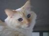 Katzenbetreuung Wien - Ragdoll / Ein ausgewachsener Kater ist dann aber auch eine wahrlich imposante Erscheinung: bei einer Länge von bis zu einem Meter kann er bis zu 8 kg auf die Waage bringen.