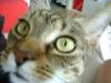 Katzenbetreuung Wien - Tigerkatze / Grob unterscheidet man die einzelnen Rassen in die Kategorien Kurzhaar, Halblanghaar und Langhaar.