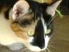 Katzenbetreuung Wien - Glückskatze / Die Glückskatze spielt in einigen asiatischen Ländern eine größere Rolle als in Europa.