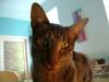 www.KATZENBETREUUNG.at / Ägyptische Mau (Egyptian Mau) - Bei dieser Rasse ist die Gefahr, dass die Katze gestohlen wird, wegen des ungewöhnlichen Fells leider besonders groß.