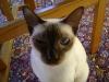 www.KATZENBETREUUNG.at / Siamesen - Siamkatzen haben ein kurzes, feines und seidig glänzendes Fell, das fast kein Unterhaar aufweist.