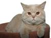 Britisch Kurzhaar Katze Enrico-von-Bärental