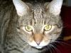 Cat Daysitting - Hauskatze Kater Romeo