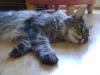 Main Coon - Sie zählen neben der Norwegischen Waldkatze und der Ragdoll (lt. offizieller Rassebeschreibung) zu den größten und schwersten Hauskatzen