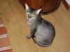 German Rex - Die German Rex ist die einzige anerkannte deutsche Katzenrasse und die älteste Rex-Katzenrasse der Welt