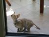 German Rex - von denen eine zufällig bei einem Kaninchenzüchter in Cornwall (im späteren Südwesten von England) eines Tages in einem Hauskatzenwurf auftauchte