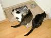 Katze Lorelei, Katze Mimi und Kater Romeo beim Fressen
