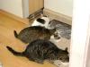 Cat Daysitting - Hauskatzenfamilie beim Fressen