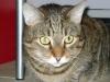 Cat Daysitting - Hauskatze Romeo
