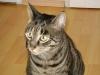 Cat Daysitting - Felis silvestris catus