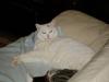 Weiße Hauskatze - Katzenbetreuung mobil vor Ort
