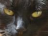 Schwarze Hauskatze - Filidae Betreuung Wien
