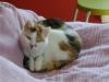 Glückskätzin - Katzenrassen betreut in Wien