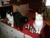 Kätzin Leila / Kätzin Amelia / Kater Neo - Indoor Hauskatzen Betreuung Wien