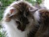 Norwegische Waldkatze Weibchen Fabienne