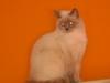 BKH - Britisch Kurzhaar Katze