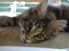Main Coon Kätzchen Luna ganz unschuldig