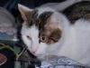 Katzenrassen - Die Katzenzucht hat eine Reihe unterschiedlicher Katzenrassen hervorgebracht, die einander allerdings deutlich ähnlicher sehen als die verschiedenen Hunderassen