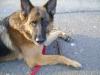 Schäfer Hund - Deutscher Schäferhund - Hunde Gassi Service Stieglecker Wien Österreich