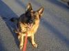 Dogs - German Shepherd Dog - Professional Animal Services Stieglecker Vienna Austria