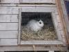 Kleintier Betreuung - Kaninchen Emilie/Weisses Mädchen mit schwarzen Stehöhrchen