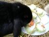Kleintier Betreuung - Hasenbub Peppino bei seiner Leibspeise