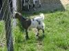 Kleintier Betreuung - Ziegenmutti Mimi