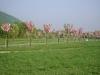 Kleintier Betreuung - Kirschenallee in voller Blüte
