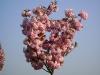 Kleintier Betreuung - Kirschenblüten
